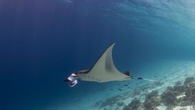 Majestic reef manta with attendant cleaner fish stock images