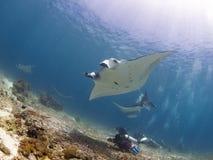 Majestic reef manta stock image