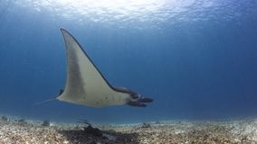 Majestic reef manta. Beautiful reef manat ray Manta alfredi holds its position effortlessly in the current. Lit with natural light against a background of white stock photo