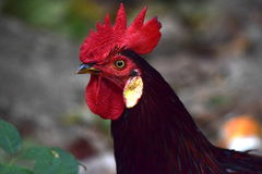 Majestic Rooster Stock Photo