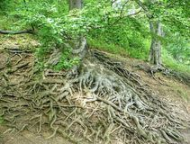 Majestic roots Stock Image