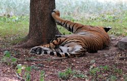Majestic royal bengal tiger at mysore zoo, India Royalty Free Stock Images