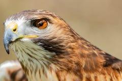 Majestic Royal Hawk eye close up. stock photo