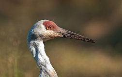 Majestic Sandhill Crane Royalty Free Stock Photo
