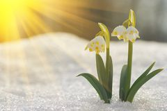 Majestic scenic view on wild spring snowdrop flowers in sunlight. Amazing golden sunbeams on wildgrowing snowdrop flowers in wildl. Life reserve stock images