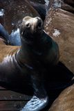 Majestic Sea-lion Stock Images