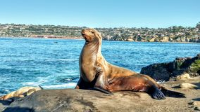 Majestic sea lion stock photography