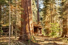 Majestic sequoias and an old wooden forest house. Sequoia National Park, California stock photo