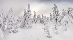 Majestic snow-covered winter forest glowing by sunlight. Dramatic wintry scene Royalty Free Stock Photography