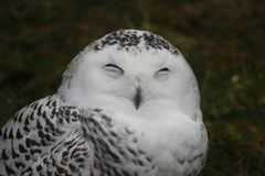 Hilarious portrait photo of a snowy owl making a funny face royalty free stock photography