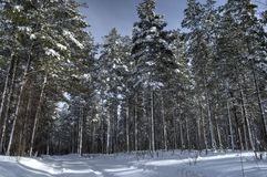 Majestic snowy pine tree forest Royalty Free Stock Image
