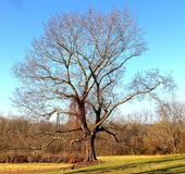 Majestic Southern Tree. An adult tree on the side of a dirt embankment Royalty Free Stock Images