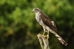 Majestic sparrow hawk Stock Images