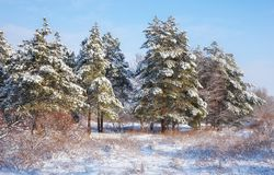 Majestic spruces and trees, covered with hoarfrost and snow, Stock Photo