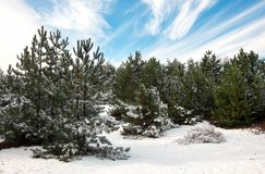 Majestic spruces and trees, covered with hoarfrost and snow Stock Images