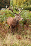 Majestic Stag Wild Red Deer Royalty Free Stock Image