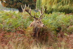 Majestic Stag Wild Red Deer Royalty Free Stock Photography