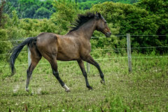 A majestic Stallion Horse running in a Pasture Stock Image