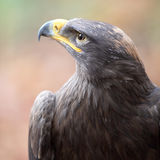Majestic steppe eagle. Close-up Royalty Free Stock Photos