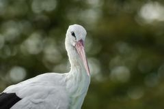 Majestic stork. With soft bokeh Stock Photo