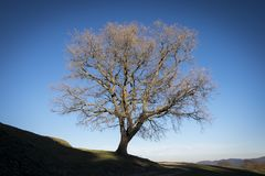 Lonely tree on the horizon. Majestic and strong lonely oak on the horizon. An authentic symbol of strength Royalty Free Stock Images