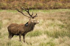 Majestic Stunning red deer stag in Autumn Fall landscape Stock Photo