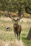 Majestic Stunning red deer stag in Autumn Fall landscape Royalty Free Stock Photography
