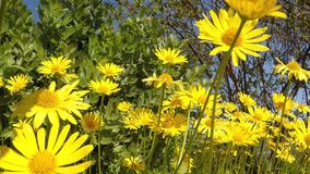 Majestic summer daisies in sunshine stock footage