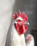 Majestic sussex rooster Stock Photos