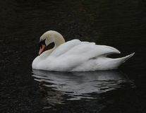 Majestic Swan royalty free stock photo