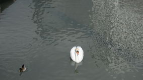 Majestic Swan In A Pond stock footage
