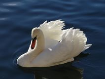 The majestic white swan seems to adore in the reflections of the calm water of the lake. A white swan seen from above with its reflection in the calm water of a Stock Photography
