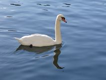 The majestic swan seems to adore in the reflections of the calm water of the lake. A white swan seen from above with its reflection in the calm water of a lake Stock Photography