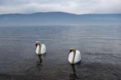 Majestic Swans on Misty Lake stock photo