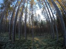 Majestic tall pine tree forest Royalty Free Stock Images