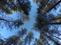 Majestic tall pine tree forest on blue autumn sky Royalty Free Stock Photo