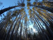 Majestic tall pine tree forest Stock Photo