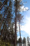 Majestic pines in meadow clearing Stock Photos