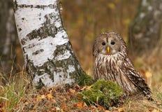 Majestic tawny owl Royalty Free Stock Photography