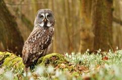 Majestic tawny owl. Strix nebulosa in spring stock photos