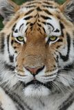 Majestic Tiger Royalty Free Stock Photography