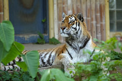 Majestic tiger attention Royalty Free Stock Photo