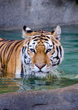Majestic tiger in water Royalty Free Stock Images