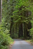 Majestic Travels. Secluded Redwood Road Royalty Free Stock Image