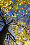 Majestic tree in a sunny autumn day Stock Photos