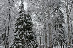Majestic view of snowy  trees in winter park, Bankya. Sofia, Bulgaria Royalty Free Stock Images