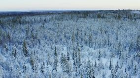 Majestic view of winter pine tree forest from above, Northern Sweden, around Umea city, filmed late December, when winter day is