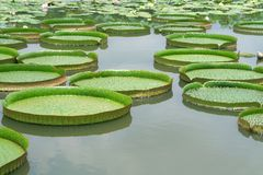 Majestic water lily pads Stock Photo