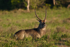 Majestic waterbuck. Wild waterbuck with majestic horns in South Africa Stock Photo
