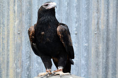 Majestic wedge-tailed eagle. Fly above a crowed of people during flight bird show in Currumbin Wildlife Sanctuary�s, Queensland. It's the largest bird of prey Stock Photography